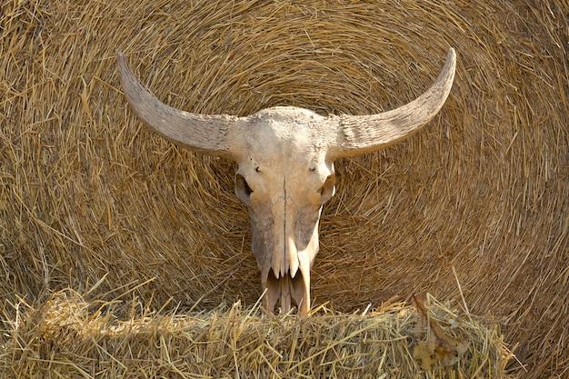 Buffelhoorn van waterbuffel voor decoratie en show.