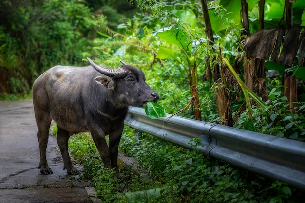 Buffels aan kant van de weg in chiang mai, thailand.