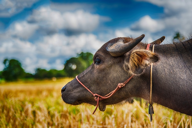 Buffels die hooi op padieveld eten