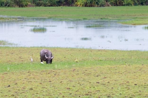Buffels die zich in weiland bevinden