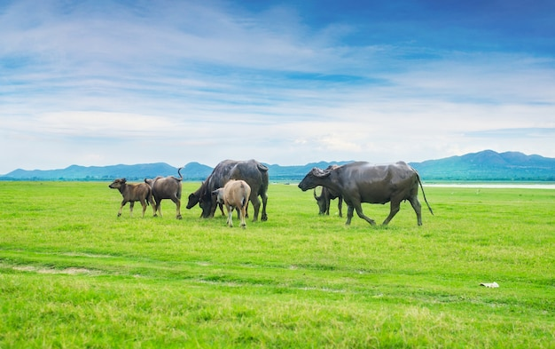 Buffels gekleurd in de groene grasvelden