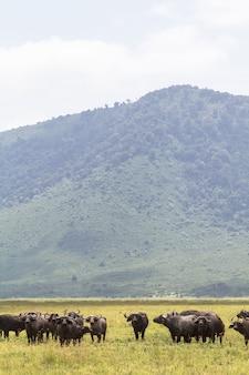 Buffels in een vulkaan. ngorongoro, tanzania