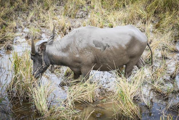 Buffels thai doorweekt in het moeras - waterbuffel in een moddervijver bij de dieren azië van het de landbouwland van het landbouwbedrijfpadieveld