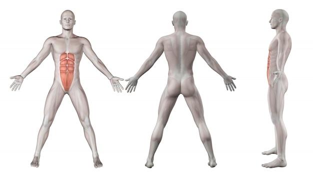 Buikspieren spieren