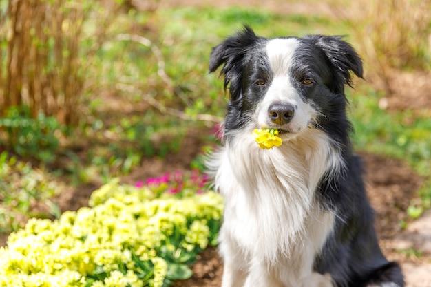 Buiten portret van schattige puppy border collie zittend op tuin achtergrond met gele bloemen in ...