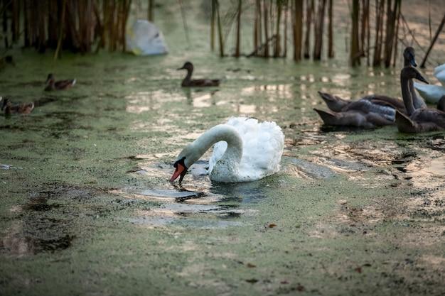 Buitenopname mooie witte zwaan die met jonge zwanen zwemt