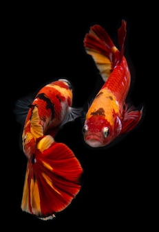 Buitensporige beti vissen van de koimelkweg.