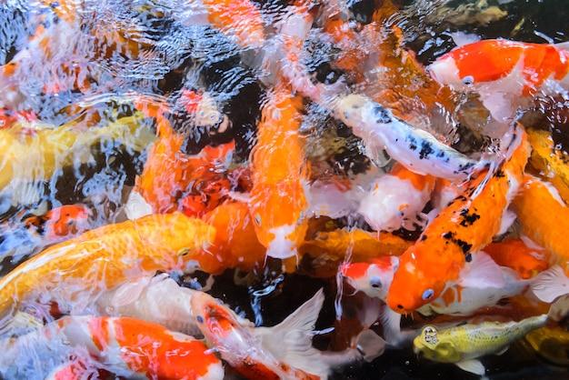 Buitensporige karper of koi-vissen die bij vijver in de tuin zwemmen
