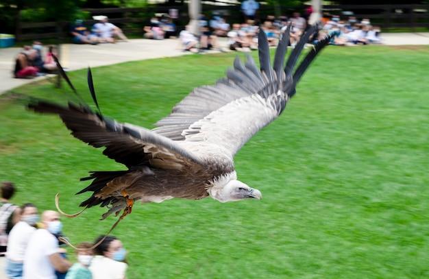 Buitre volando en exhibicion