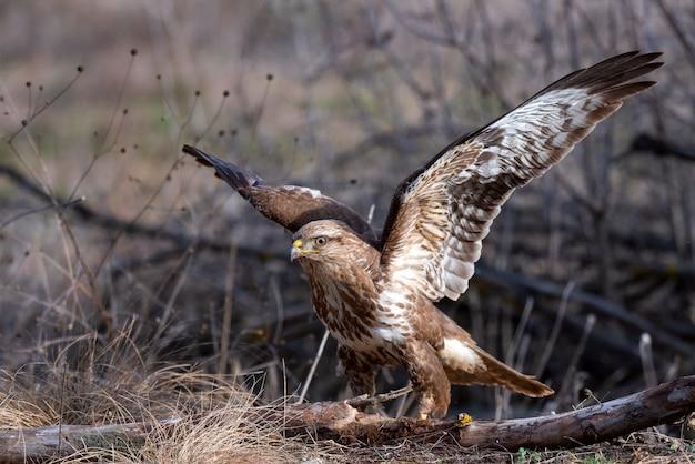Buizerd, buteo buteo, staat op de grond met open vleugels