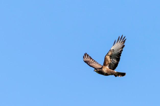 Buizerd die tijdens de vlucht in duidelijke blauwe hemel wordt gevangen.