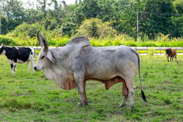 Bull guzera in het weiland