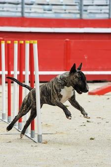 Bull terrier in behendigheid