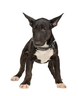 Bull terrier met 5 maanden. geïsoleerd hondportret