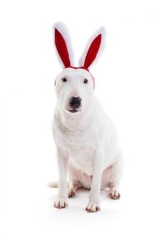 Bull terrierwith rode konijntjesoren op wit in de studio