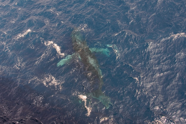 Bultrug die in diep blauw zeewater zwemmen - luchtmening
