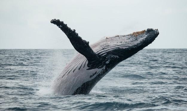 Bultrug springt uit het water. mooie sprong. . madagascar. st. mary's island.