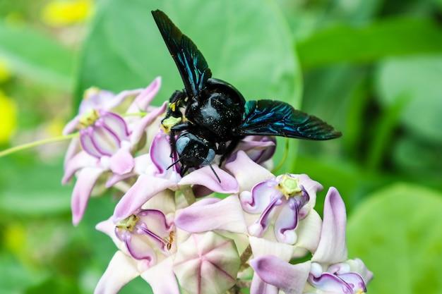 Bumble bee vond het zoete water van kroonbloem