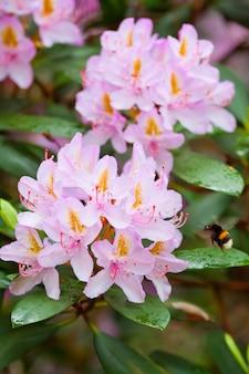 Bundels van roze bloeiende rododendrons