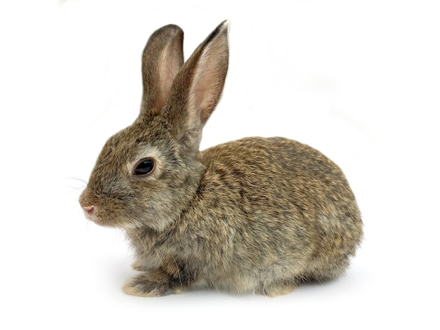 Bunny rabbit zit op witte achtergrond