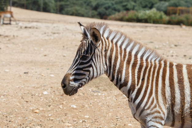 Burchell's zebra of equus quagga burchellii in een wild zandgebied