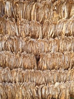 Burley-tabak genezen. tabaksbladeren drogen. tabaksbladeren om tabaksbladeren op natuurlijke wijze te incuberen. snap fotografie gemaakt met een smartphone. Premium Foto