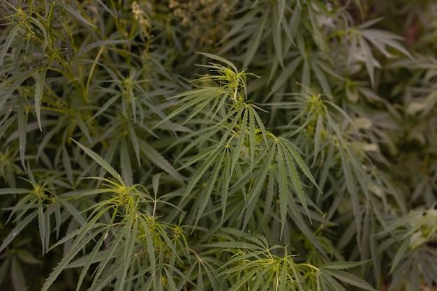 Bush bloeiende kruid hennep met zaden en bloemen zon glint achtergrond. concept fokken van marihuana, cannabis, legalisatie.