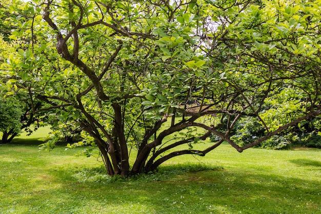 Bush boom op gras gazon in zomer stadspark