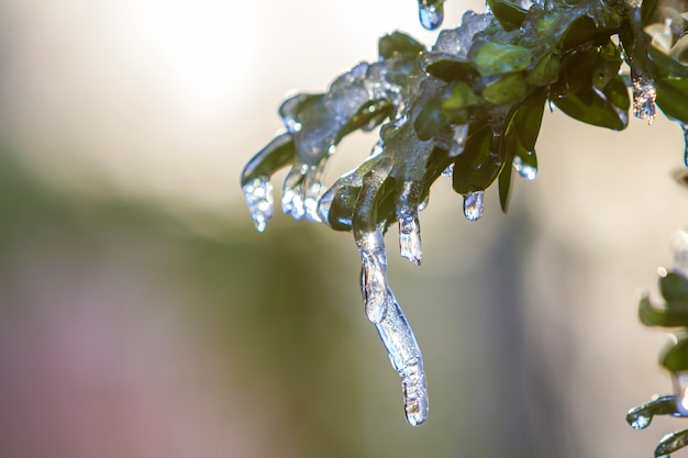 Bush-brunch met kleine natte groene bladeren bedekt met ijs en hangende ijspegels op heldere wazig zonnig