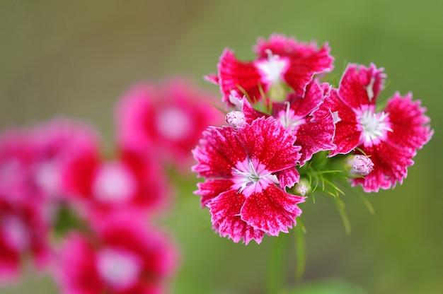 Bush karmozijnrode bloem turkse anjer