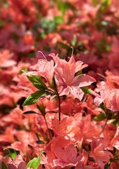 Bush van delicate oranje bloemen van azalea