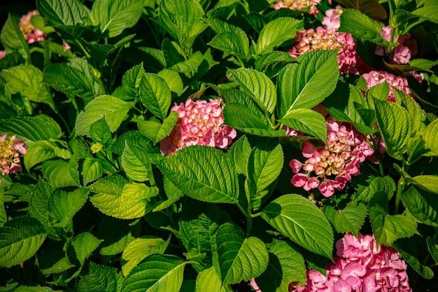Bush van hortensia bloemen in een tuin