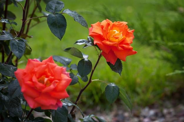 Bush van oranje rozen in de tuin