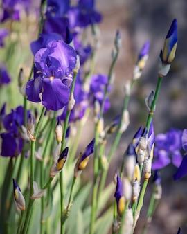 Bush van paarse irisbloemen in de tuin
