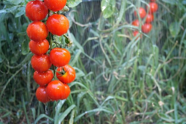 Bush van rode tomaten onder regenstralen, opknoping op een tak in de tuin of op veld tussen groene vegetatie.