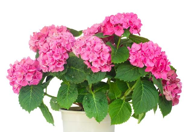 Bush van roze hortensia bloemen in pot close-up geïsoleerd