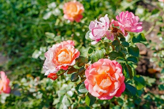Bush van roze rozen close-up op een zonnige dag