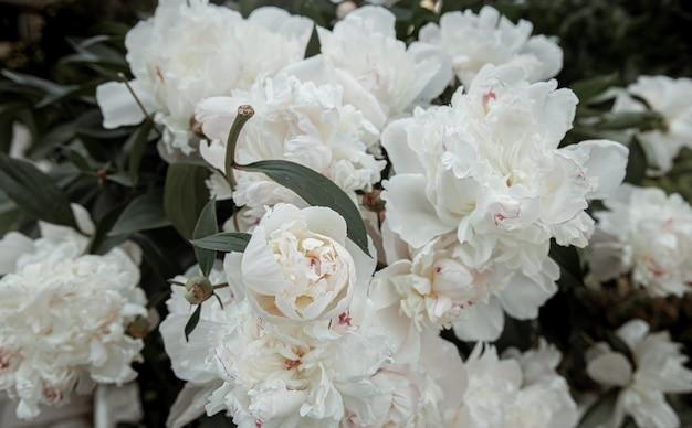 Bush van verse bloeiende lente bloemen pioen close-up.