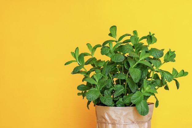 Bush van verse groene biologische munt in een pot op een gele achtergrond