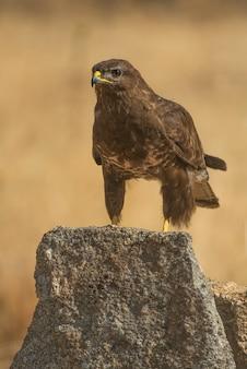 Buteo buteo gemeenschappelijke buizerd roofvogel