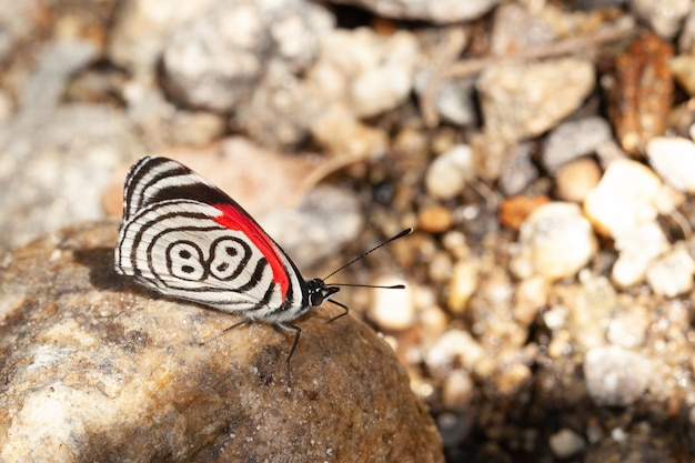 Butterfly diaethria ook wel 88