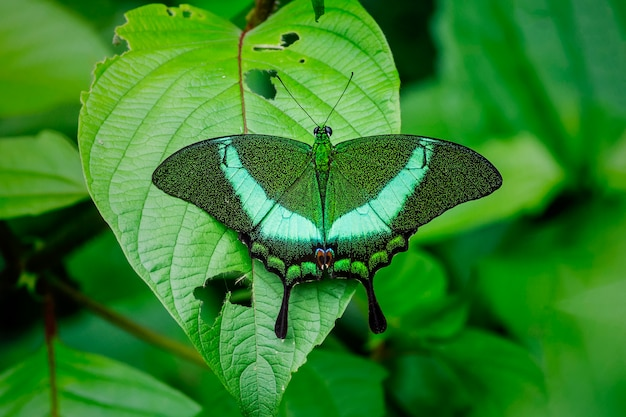 Butterfly in nature, banded peacock (papilio palinurus)