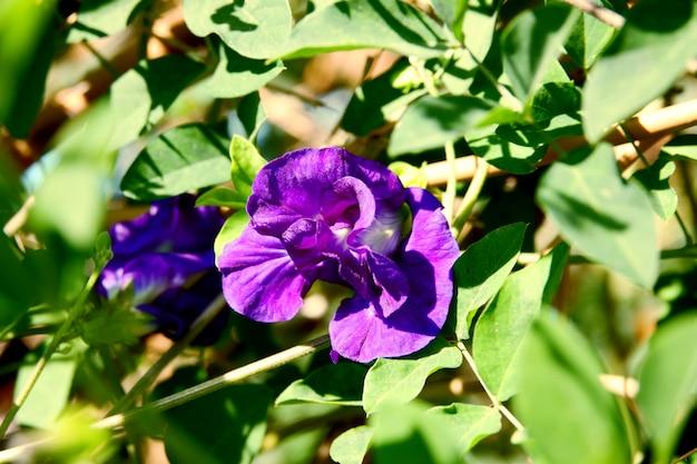 Butterfly pea bloem