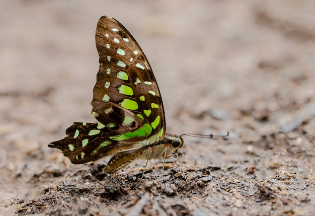 Butterfly tailed jay graphium agamemnon zuigt voedingsstoffen uit de grond