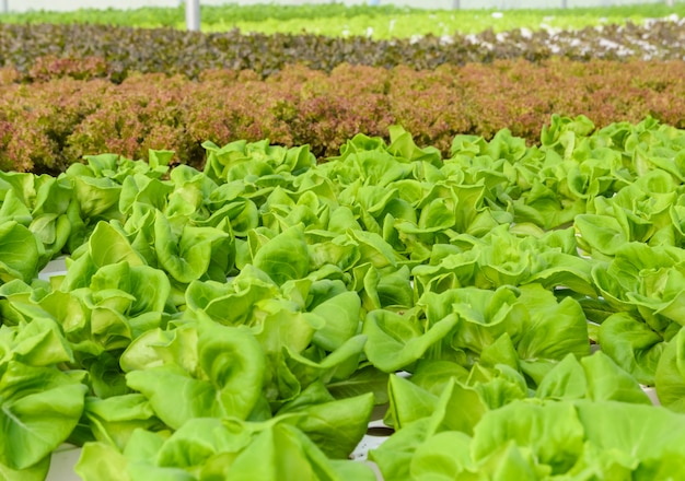 Butterhead sla hydrocultuur groenten plantage