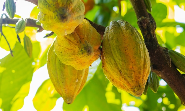 Cacao aan de boom in de tuin