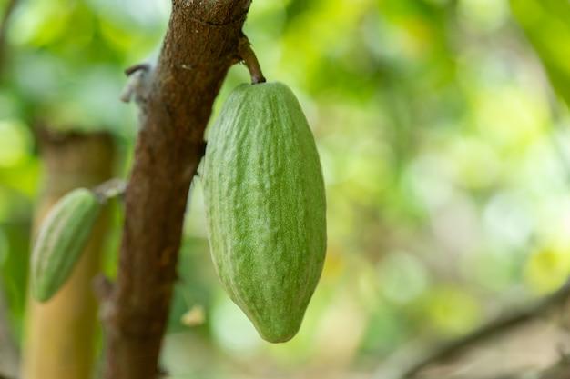 Cacaoboom (theobroma-cacao). biologische cacaofruit peulen in de natuur.