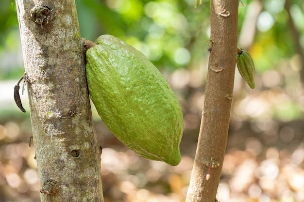 Cacaoboom (theobroma cacao). biologische cacaovruchten peulen in de natuur.