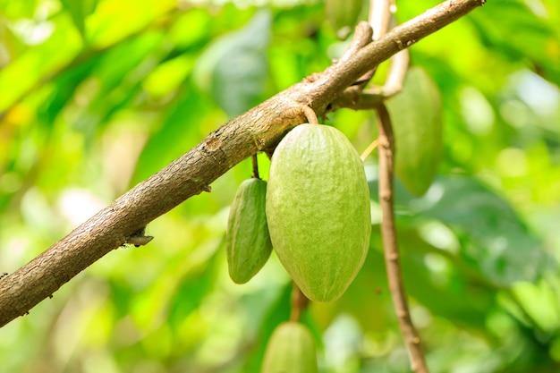 Cacaoboom (theobroma cacao). biologische cacaovruchtpeulen in de natuur. (chocoladeboom)
