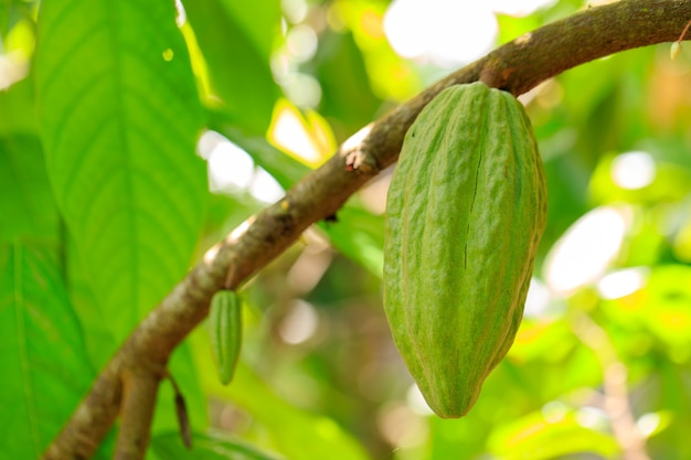 Cacaoboom (theobroma cacao). biologische cacaovruchtpeulen in de natuur.